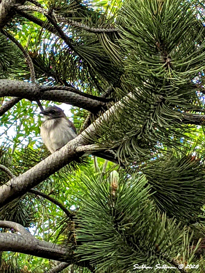 Baby scrub jay in pine Bend, Oregon 12June2020