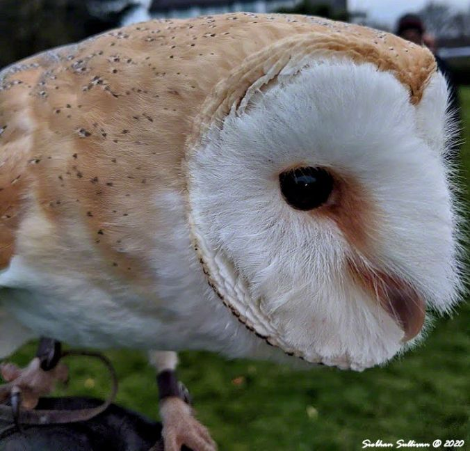 Barn owl up close, Dingle, Ireland March 2020