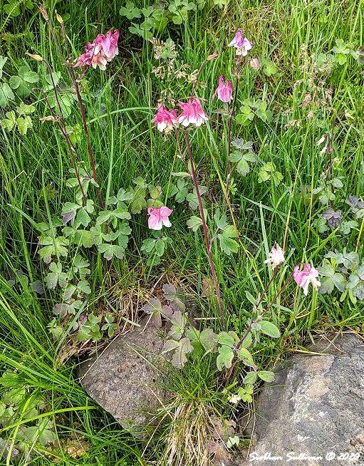 Flowers growing in a rockery Bend, Oregon June2020