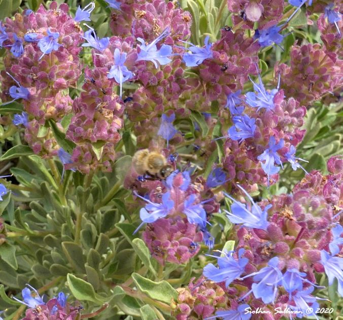 Honeybee on purple sage Bend, Oregon June 2020