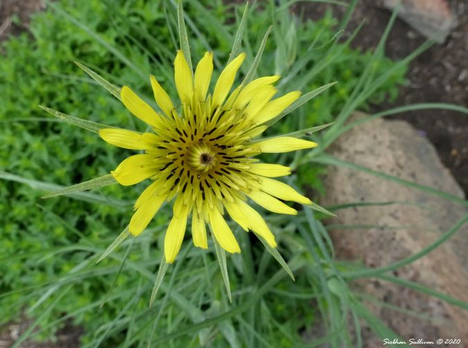 Salsify blooming in Bend, Oregon 29May2020