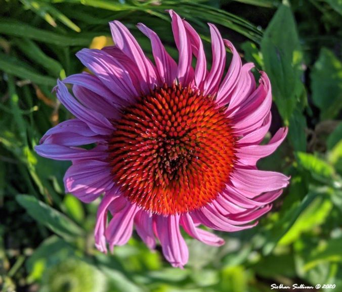 A coneflower up close in Bend, Oregon July 2020
