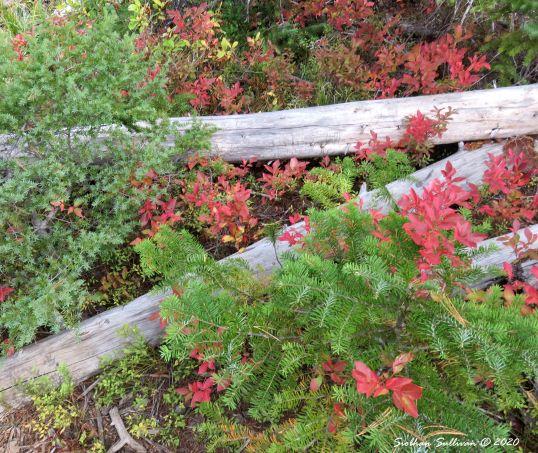 Autumn's kaleidoscope red leaves among fallen trees in Oregon September 2016