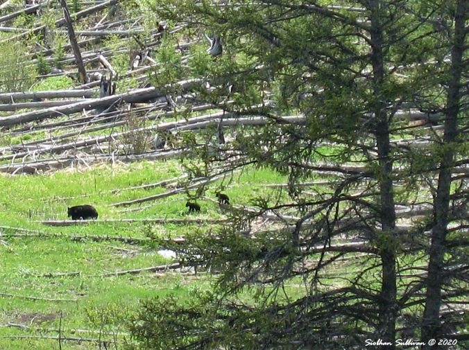 Black bear and two cubs June 2011