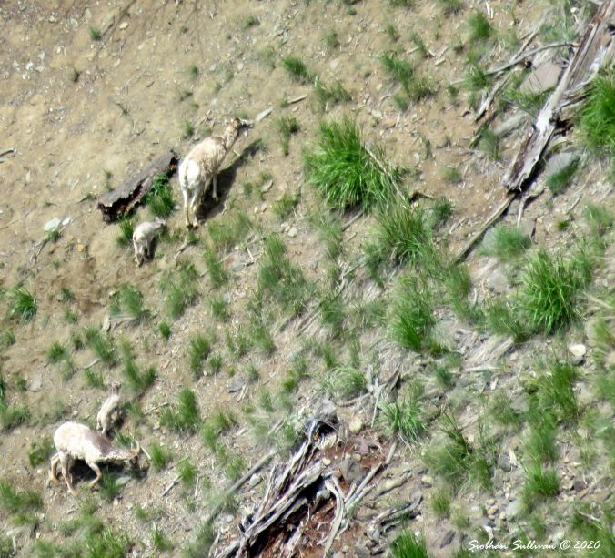 Two bighorn sheep ewes & lambs, Calcite Spring, Yellowstone June 2015