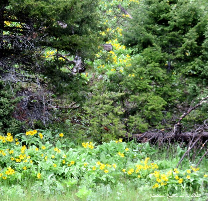 Balsamroot near Mammoth Hot Springs May 2018