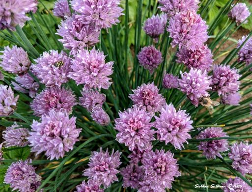 Chives in bloom in the spring, near Bend, Oregon 2020