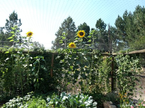 Sunflowers growing through bird netting August 2020