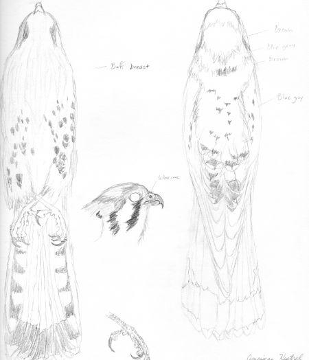 American kestrel study