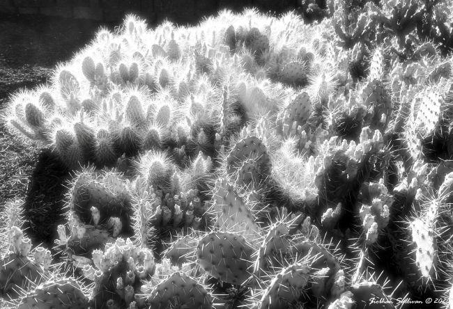 Cactus in infrared