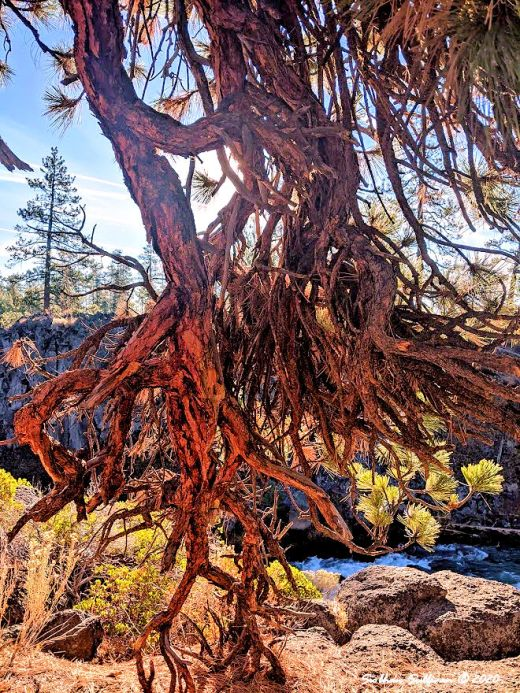 Ponderosa pine branches