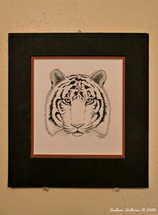 Tiger pen-and-ink by Siobhan Sullivan