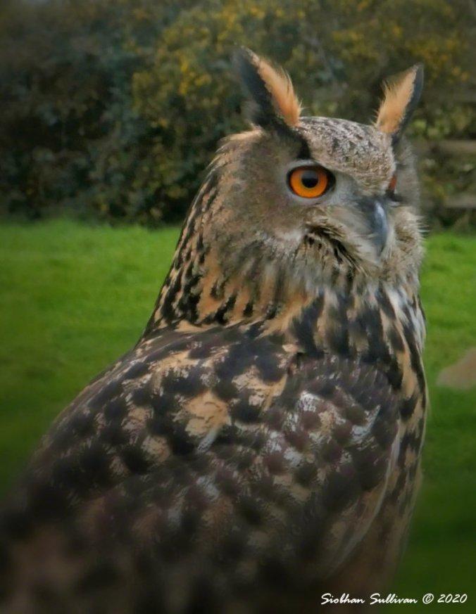 Eurasian eagle-owl March 2020