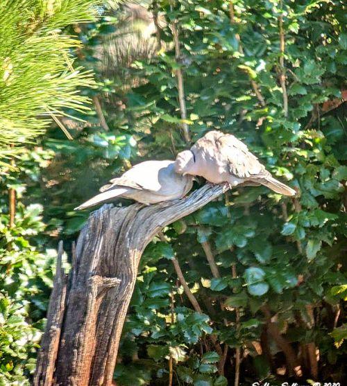 Eurasian collared doves May 2020