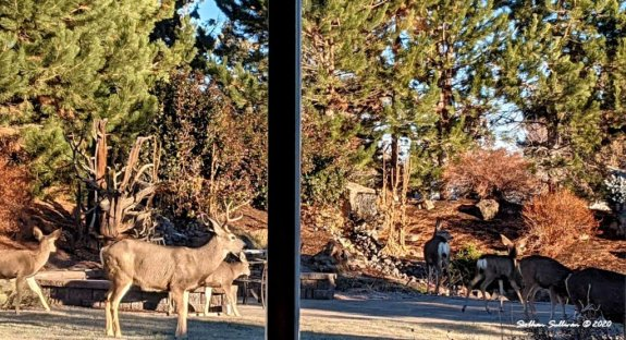 Lookin' out my back door - mule deer