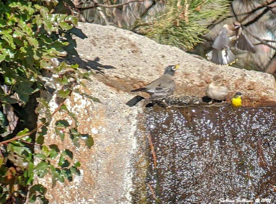 In the morning light - Songbirds drinking water
