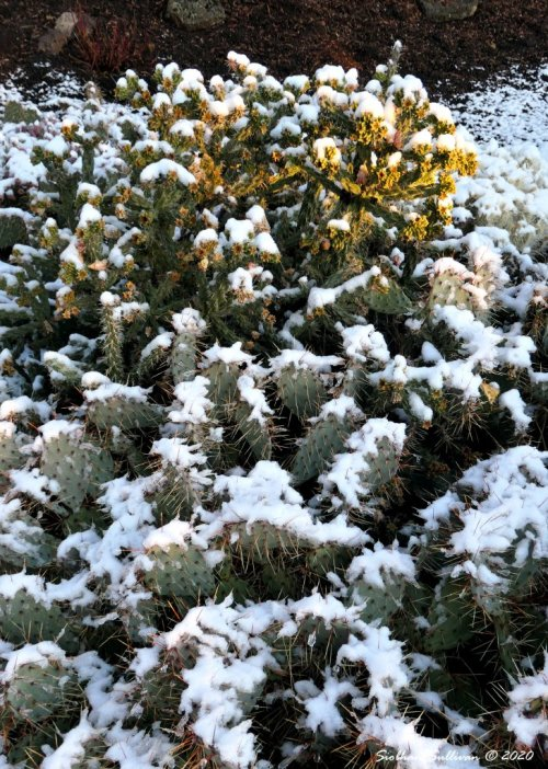 Snow on high desert cactus October 2020