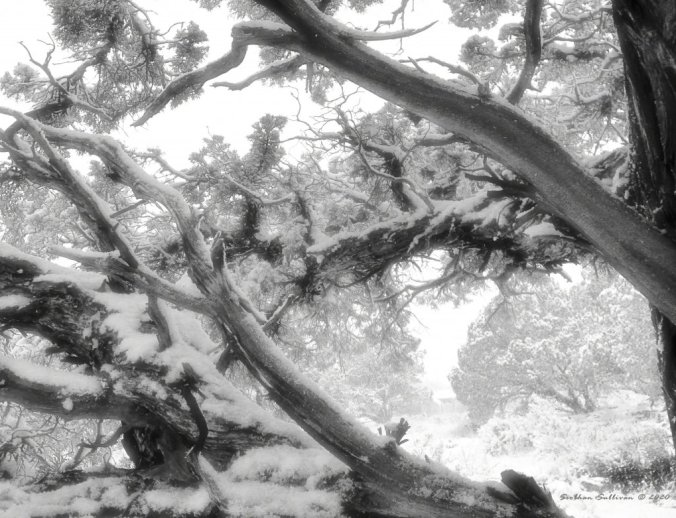 The softness of snow on junipers