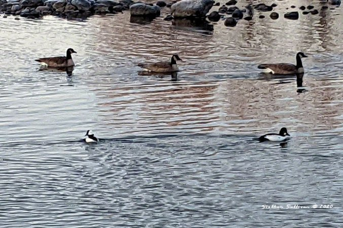 Canada geese, bufflehead, common goldeneye December 2020