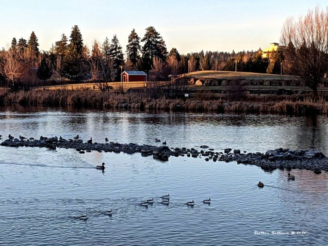 Waterfowl on the Deschutes River December 2020