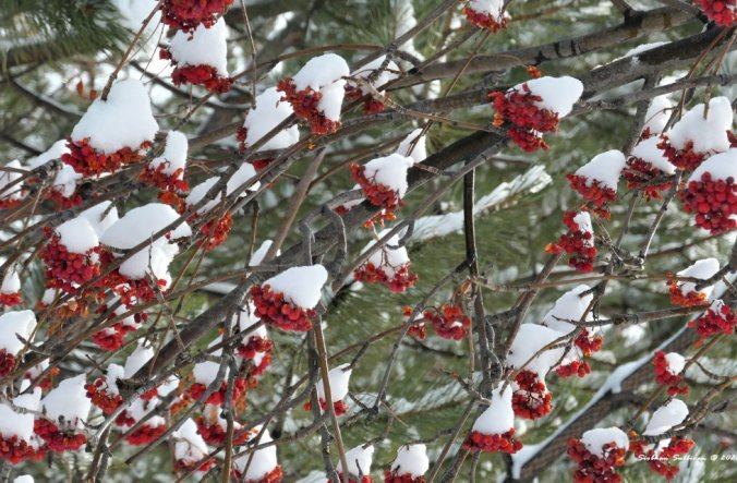 Snow-capped mountain ash