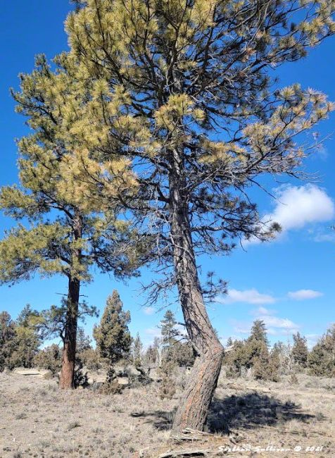 Bent knee Ponderosa pine