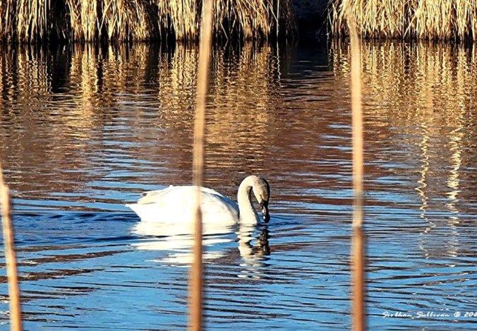 waterfowl reflections - swan in Bend, Oregon