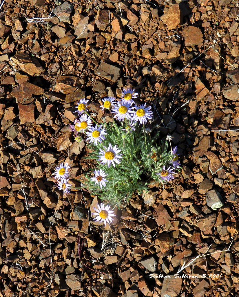 Wildflowers in the desert - fleabane
