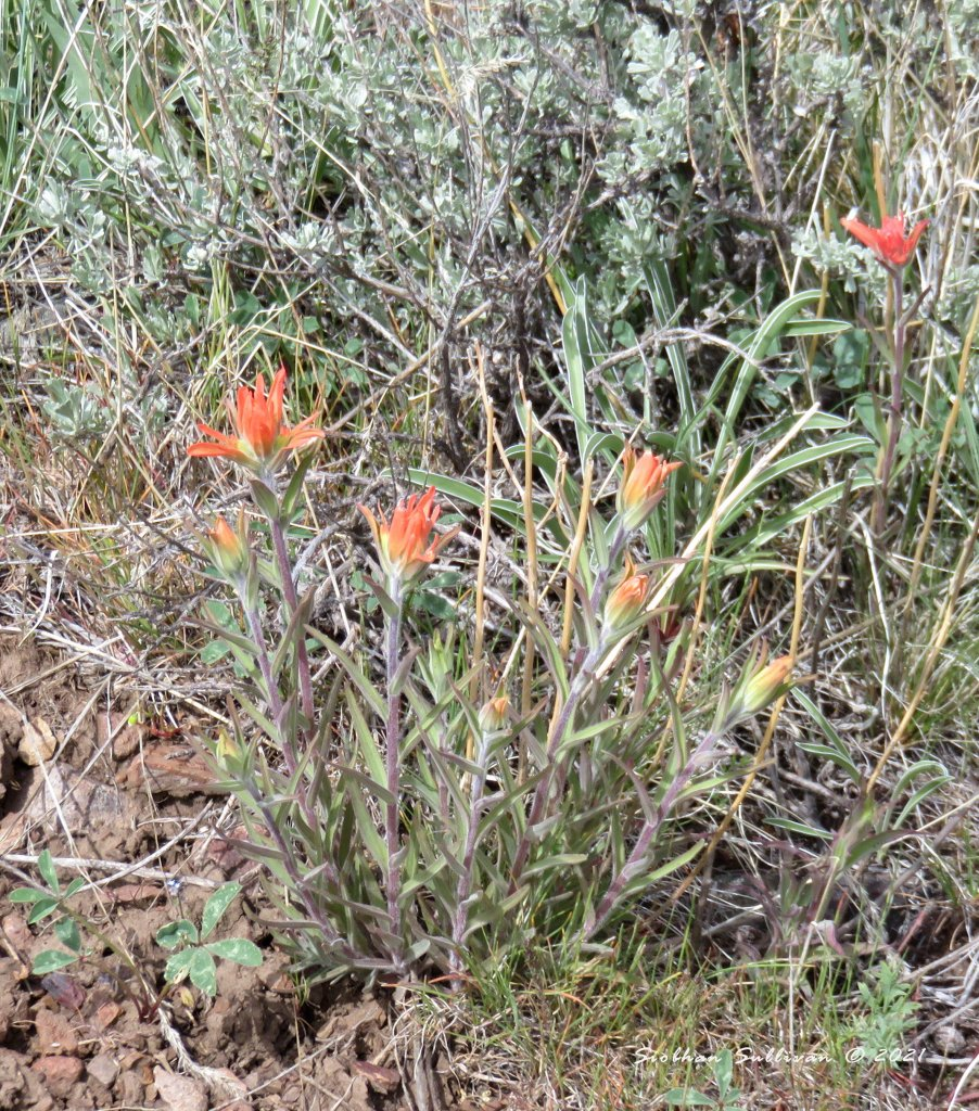 Wildflowers in the desert - Indian paintbrush