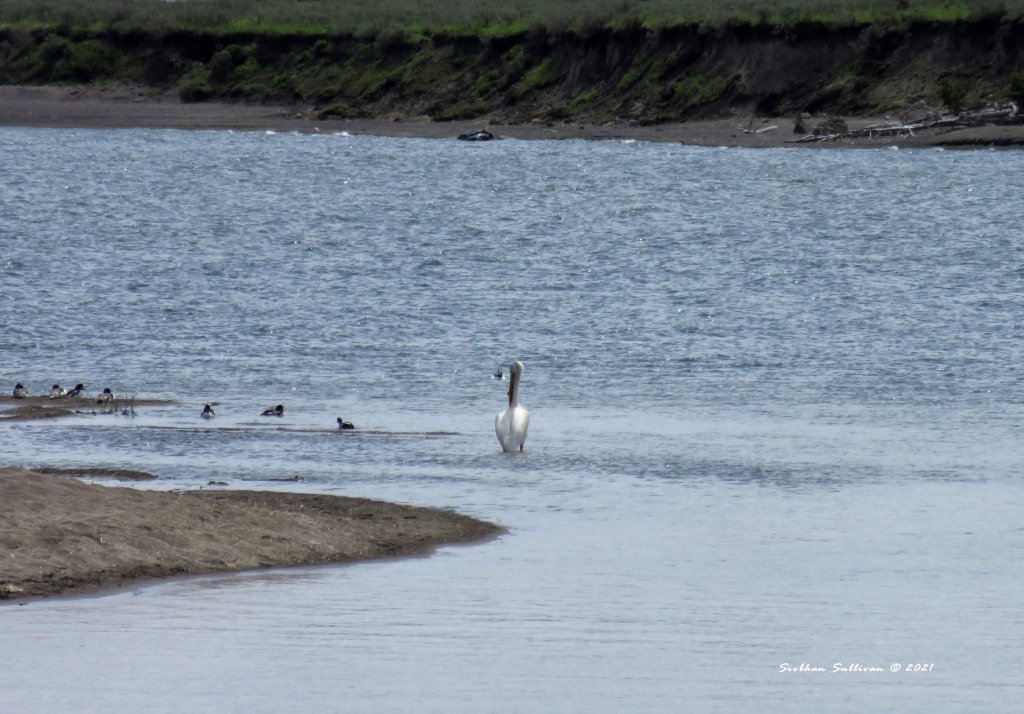 Elusive birds White pelican at Yellowstone