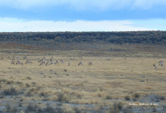 A herd near Hart Mountain
