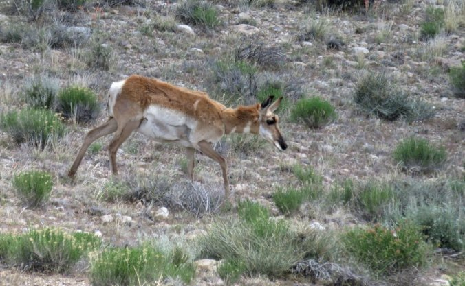following pronghorn near Great Basin Npk