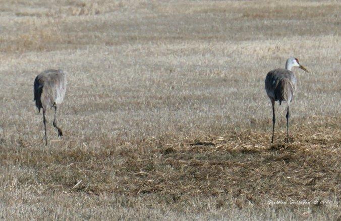 Sandhill cranes at Malheur NWR
