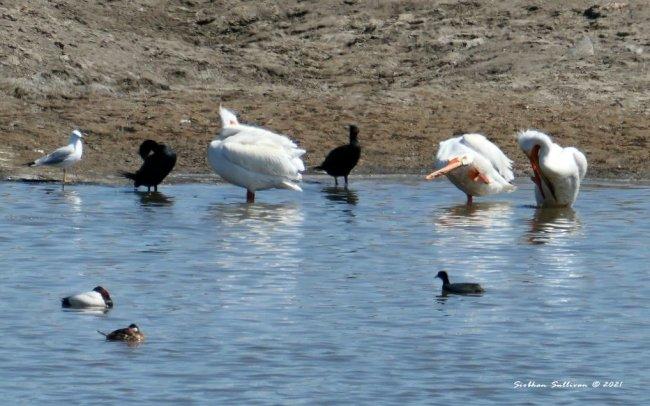 Spring birds near Malheur NWR