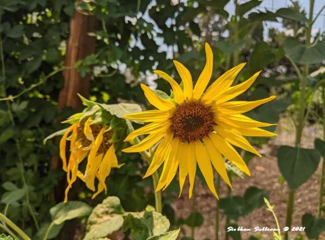 Sunflower up close July 2020