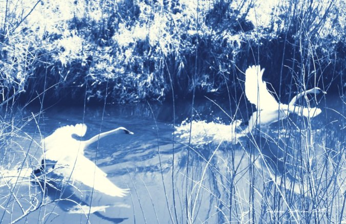 Seeing things differently - trumpeter swans