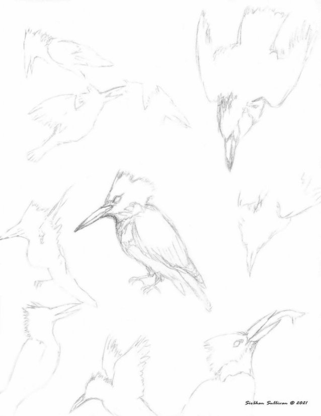 Sketches of birds