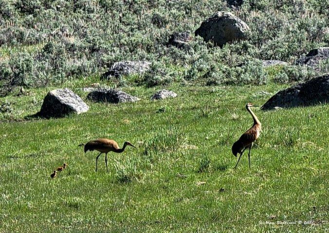 portraits of creatures - sandhill cranes