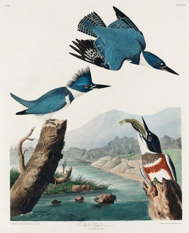 Kingfisher art by Audubon