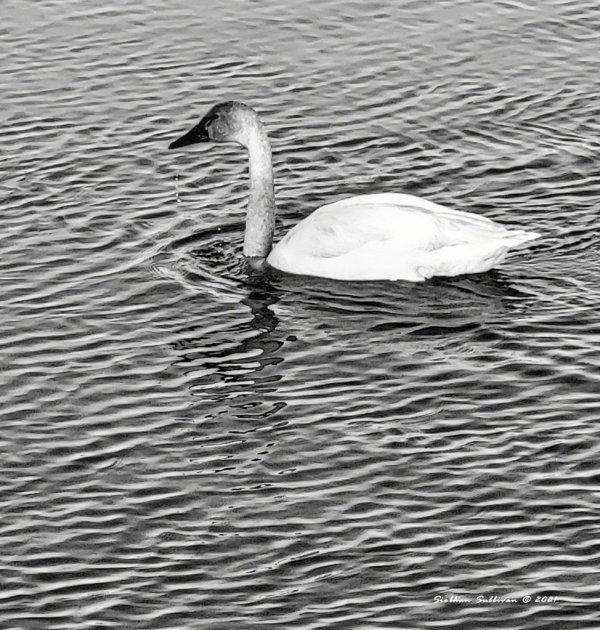 swan on Deschutes River