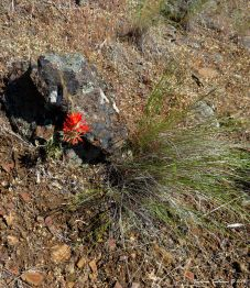 Indian paintbrush in bloom