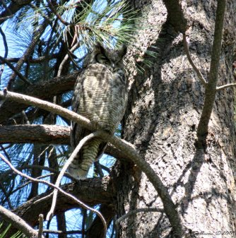 Great Horned Owl 8May2015 Bend, Oregon