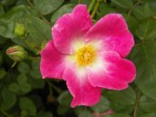 Spring time bloom of a wild rose.