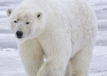 Polar bears are from the Arctic Circle (north pole), not the Antarctic (south pole), so you wont find them on the menu of Penguin Palace.