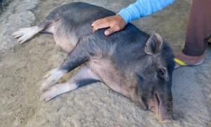 Ein Schwein liegt seitlich auf dem Boden und lässt sich streicheln
