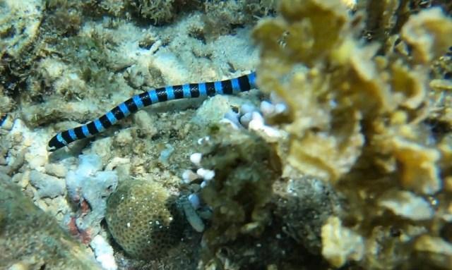 Schwarz-Blau gestreifte Wasserschlange bei Apo Island