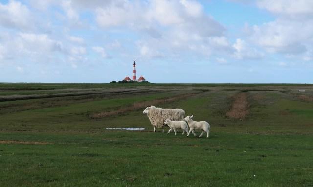 1 Schaf und zwei Kälber vor dem Leuchtturm Westerheversand