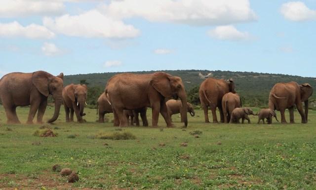 Elefanten-Gang im Addo Elephant Park