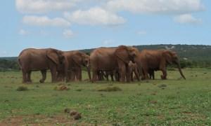 Elefantenherde bei der Safari im Addo Elephant National Park