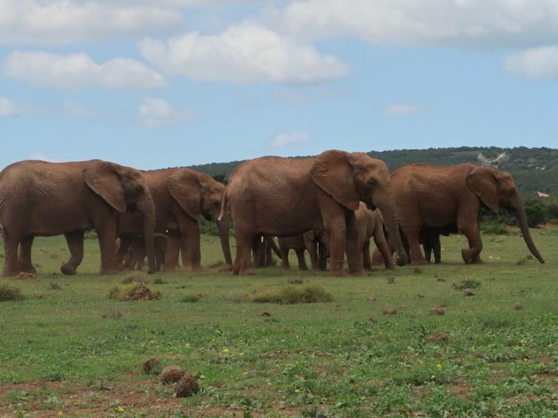 Garden Route Roadtrip (Tag 1 -3): Safari im Addo Elephant National Park + Schotia Game Reserve